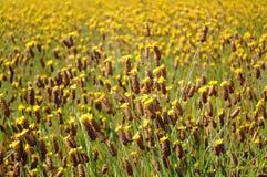 Цветки Xyris желтые или полевой цветок Xyridaceae стоковое изображение rf
