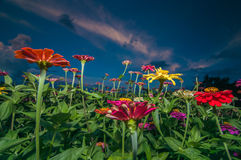 Цветки Zinnia в рассвете Стоковые Фотографии RF