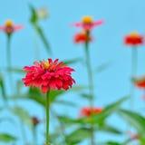 Цветки Zinnia в саде Стоковое Фото