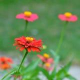 Цветки Zinnia в саде Стоковое Изображение RF