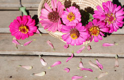 Цветки Zinnia на деревянной предпосылке Стоковое Изображение