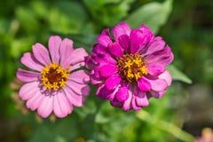 Цветки Zinnia Стоковые Изображения