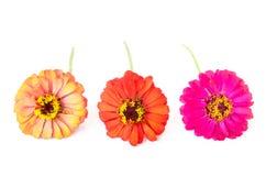 Цветки Zinnia стоковое изображение