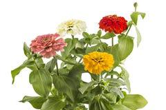 Цветки Zinnia Стоковые Фотографии RF