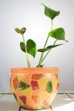 Цветковое растение антуриума с красивыми цветками на белом деревянном столе Стоковое фото RF