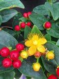 Цветковое растение привлекательности чуда зверобоя стоковая фотография