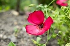 Цветковое растение пурпура grandiflorum Linum стоковое фото rf