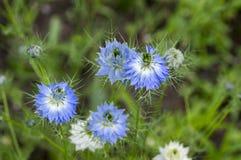 Цветковое растение раннего лета damascena Nigella с различными тенями голубых цветков на малом зеленом кустарнике, орнаментальном Стоковые Фотографии RF