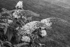 Цветковое растение Buddleja в черной & белом стоковое фото