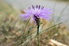 Цветковое растение jacea василёка фиолетовое фиолетовое стоковое изображение