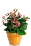 цветковое растение kalanchoe в баке Стоковая Фотография