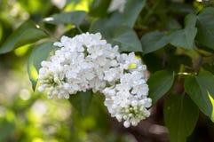 Цветковое растение Syringa vulgaris в маслиновые прованской семьи, лиственном кустарнике с группой в составе белые цветки и листь Стоковое фото RF