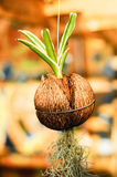 Цветковые растения, который выросли в баках шелухи кокоса стоковая фотография rf