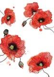 Цветков маков акварели иллюстрация группы красных круглая Стоковые Фотографии RF