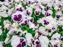 Цветков pansy верхней части поле вниз красивое зеленой травы как предпосылка в цвете природы белом и фиолетовом, панораме Стоковая Фотография RF