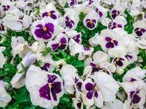 Цветков pansy верхней части поле вниз красивое зеленой травы как предпосылка в цвете природы белом и фиолетовом, панораме Стоковое Фото