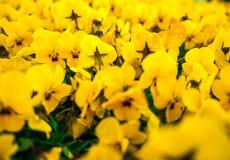Цветков pansy верхней части поле вниз красивое конца зеленой травы вверх запачканное как предпосылка в цвете желтого цвета природ Стоковые Фото