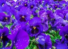 Цветков pansy верхней части поле вниз красивое конца зеленой травы вверх запачканное как предпосылка в цвете природы фиолетовом,  Стоковая Фотография RF