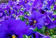 Цветков pansy верхней части поле вниз красивое конца зеленой травы вверх запачканное как предпосылка в цвете природы фиолетовом,  Стоковые Изображения RF
