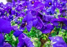Цветков pansy верхней части поле вниз красивое конца зеленой травы вверх запачканное как предпосылка в цвете природы фиолетовом,  Стоковое Фото