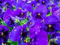 Цветков pansy верхней части поле вниз красивое конца зеленой травы вверх запачканное как предпосылка в цвете природы фиолетовом,  Стоковые Фото