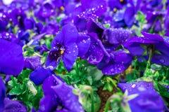 Цветков pansy верхней части поле вниз красивое конца зеленой травы вверх запачканное как предпосылка в цвете природы фиолетовом,  Стоковые Фотографии RF