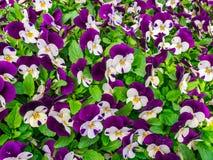 Цветков pansy верхней части поле вниз красивое конца зеленой травы вверх запачканное как предпосылка в цвете природы фиолетовом и Стоковое Изображение