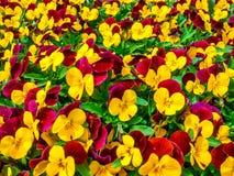 Цветков pansy верхней части поле вниз красивое конца зеленой травы вверх запачканное как предпосылка в цвете природы желтом и кра Стоковые Фотографии RF