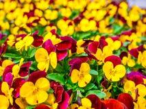 Цветков pansy верхней части поле вниз красивое конца зеленой травы вверх запачканное как предпосылка в цвете природы желтом и кра Стоковое фото RF