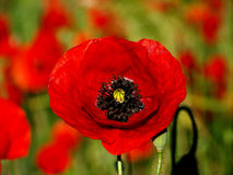 Цветк-чашка мака Стоковое Фото