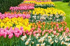 Цветники пестротканых тюльпанов и narcissus Стоковое Изображение