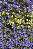 Цветник голубых и желтых повилик Стоковое фото RF