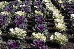 Цветник орнаментальных заводов капусты стоковые фото