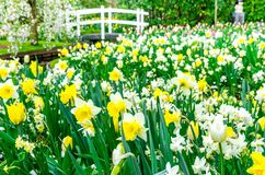 Цветник с желтым и белым daffodil цветет зацветать в саде весны Keukenhof от Lisse- Нидерландов ; Стоковые Фото