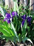 Цветник с цветками радужки Стоковые Фотографии RF