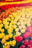 Цветник multicolor тюльпанов Стоковое фото RF