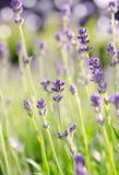 Цветок лаванды в поле стоковые изображения rf