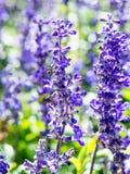 Цветок лаванды в саде Стоковая Фотография RF
