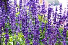 Цветок лаванды в саде Стоковые Изображения