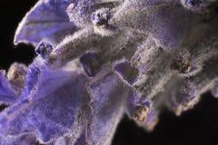Цветок лаванды макроса Стоковые Фотографии RF