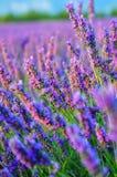 Цветок лаванды, Провансаль, Франция Стоковые Фото