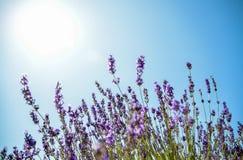 Цветок лаванды с голубым небом Стоковые Фото