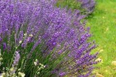 Цветок лаванды стоковые изображения