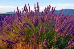 Цветок лаванды стоковое изображение