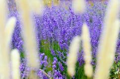 Цветок лаванды стоковая фотография rf