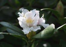 Цветок азалии в ботаническом саде Стоковые Фотографии RF