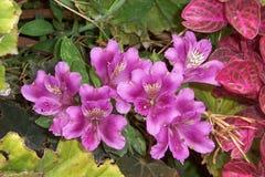 Цветок азалии лаванды Стоковое фото RF