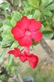 Цветок азалии красивый на Таиланде Стоковые Фотографии RF