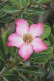 Цветок азалии красив в Таиланде Стоковые Изображения