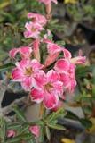 Цветок азалии красив в Таиланде Стоковые Изображения RF
